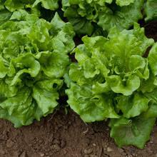 Uprawa sałaty – podstawowe zasady