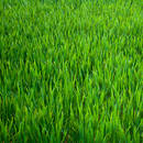W jaki sposób siać trawę?