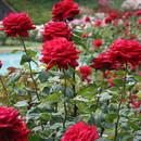 Uprawa i pielęgnacja róż ogrodowych