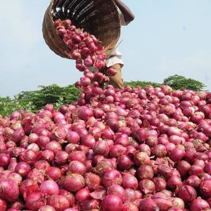 Zbieranie cebuli