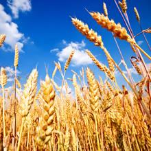 Czemu warto zrezygnować z pszenicy?