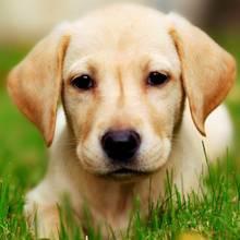 Jak karmić szczeniaka labradora?