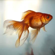 Jak karmić złote rybki?