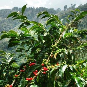 Uprawa kawy w warunkach domowych – podstawowe zasady