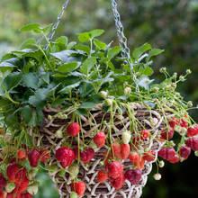 Co warto wiedzieć o uprawie truskawek pnących?
