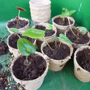 Jak rozmnażać cyklameny z nasion?