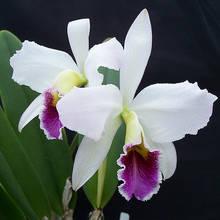 Jak podlewać orchidee?