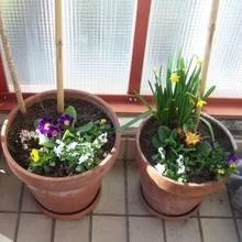 Jak hodować rośliny cebulowe w domu?