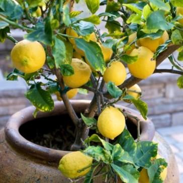 Jak uprawiać cytrynę w warunkach domowych?