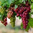 Pielęgnowanie winogron – podstawowe zasady