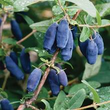 Co warto wiedzieć o uprawie jagody kamczackiej?