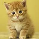 Jak pozbyć się pcheł u kota?