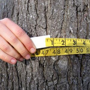 Określenie wieku drzewa rosnącego – metoda druga
