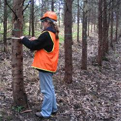 Określenie wieku drzewa rosnącego – metoda pierwsza