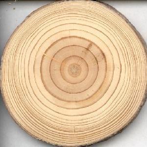 Określenie wieku drzewa ściętego