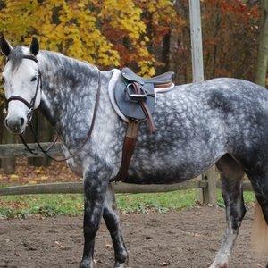 Koń jabłkowity