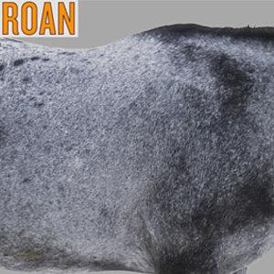 Koń dereszowaty