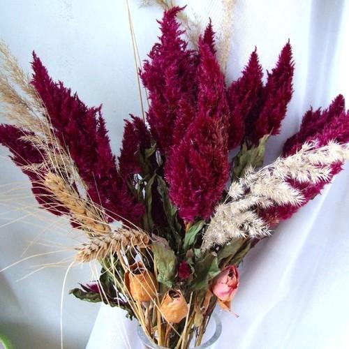 Jak pielęgnować amarantus?