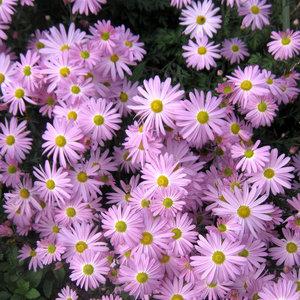 Przykładowe kwiaty na rabatę jednogatunkową