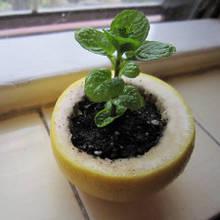 Jak wykorzystać skórki po grejpfrutach do produkcji rozsady?