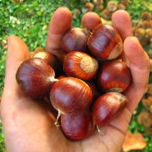 Zabawne grzybki z kasztanów i żołędzi