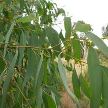 Domowe krople eukaliptusowe na paradontozę