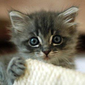 O czym świadczy wielkość kota?