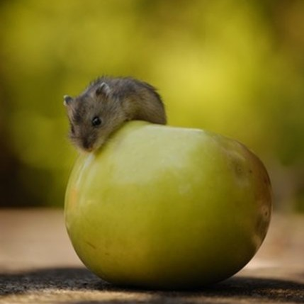 Jak przygotować jabłkowe przekąski dla chomika?