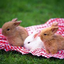Jak opiekować się królikiem miniaturką?