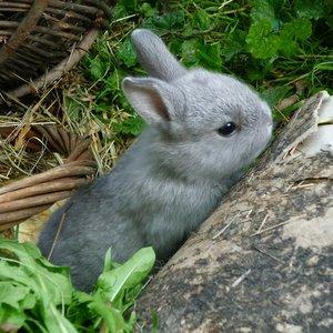 Aklimatyzacja królika