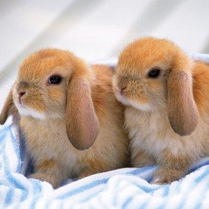 Kastrowanie królika
