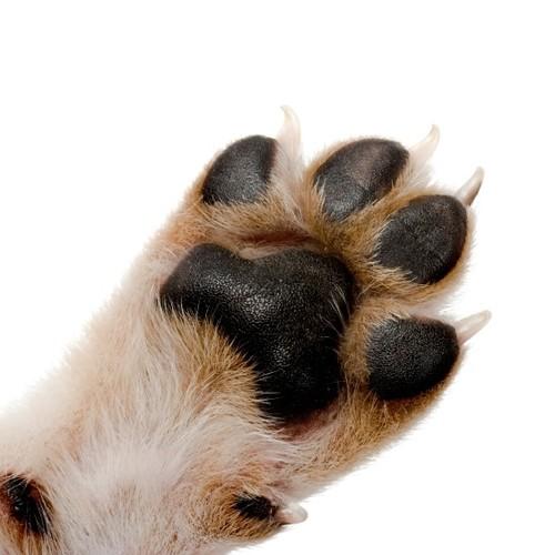 Co robić, kiedy pies zrani się w opuszkę?