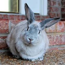 Jak skutecznie zwalczyć pchły u królika?