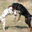 Jak rozdzielić psy, które się gryzą?