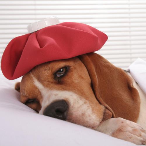 Jak rozpoznać nosówkę u psa?