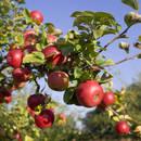 Podstawowe zasady nawożenia jabłoni