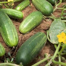 Jakie są zasady sadzenia ogórków?