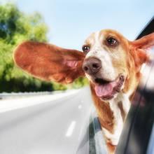 Przewożenie zwierząt w samochodzie – podstawowe zasady