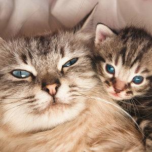 Jakie są objawy ciąży u kotki?