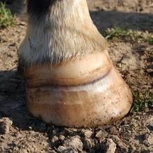 Co trzeba wiedzieć o pielęgnacji końskich kopyt?
