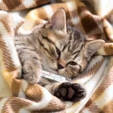 Jak poprawnie zmierzyć temperaturę u kota?