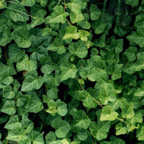 Uprawa bluszczu – podstawowe zasady
