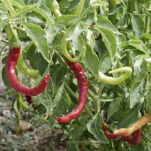 Podstawowe zasady uprawy papryki