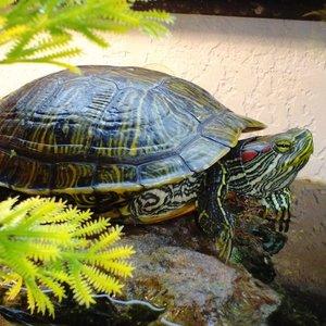 Czym odżywiać żółwia wodnego?