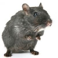 Jaki sobie poradzić z inwazją myszy?