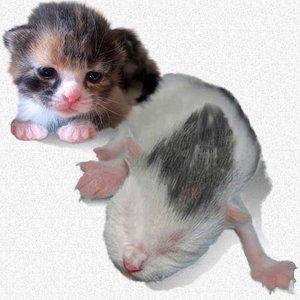 Jak zadbać o oddawanie moczu przez kocięta pozbawione matki?