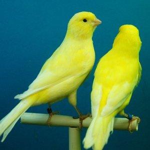 Opieka nad kanarkiem – podstawowe zasady
