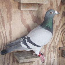 Jak sobie poradzić z natrętnymi gołębiami?